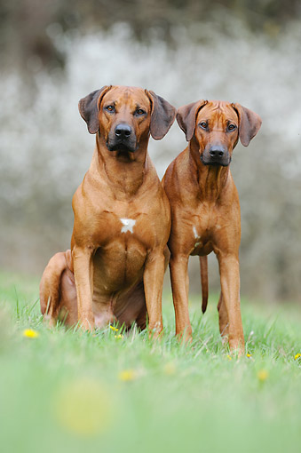 DOG 14 SS0082 01 © Kimball Stock Rhodesian Ridgebacks Standing Tall In Grass