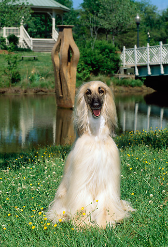 DOG 14 CE0002 01 © Kimball Stock Afghan Hound Sitting On Grass By Water
