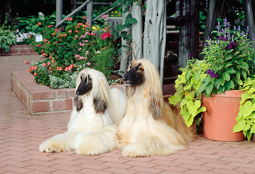 DOG 14 CE0003 01 © Kimball Stock Two Afghan Hounds Laying On Brick Patio By Flowers
