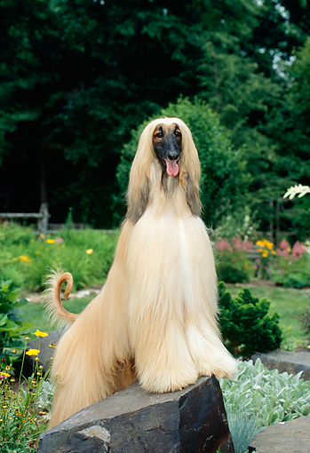 DOG 14 CE0005 01 © Kimball Stock Afghan Hound Standing On Rock In Garden