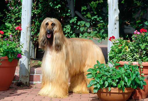 DOG 14 CE0006 01 © Kimball Stock Afghan Hound Standing On Brick Patio By Flowers
