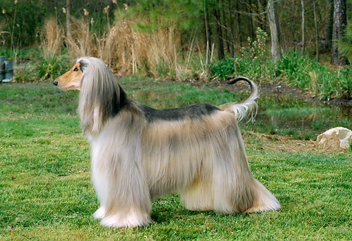 DOG 14 CE0007 01 © Kimball Stock Afghan Hound Standing On Grass By Pond Trees
