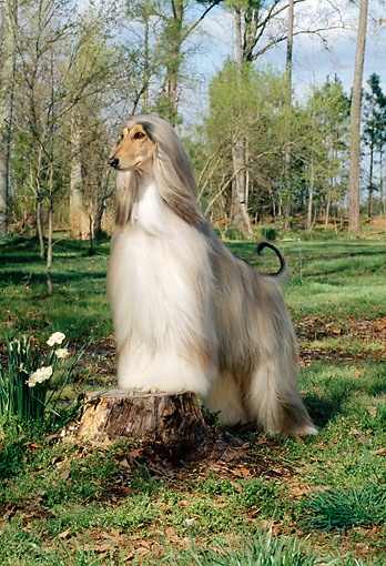 DOG 14 CE0009 01 © Kimball Stock Afghan Hound Standing On Tree Stump On Grass By Trees