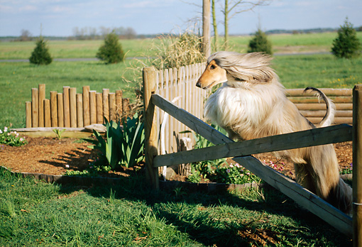 DOG 14 CE0010 01 © Kimball Stock Afghan Hound Leaping Over Fence On Grass