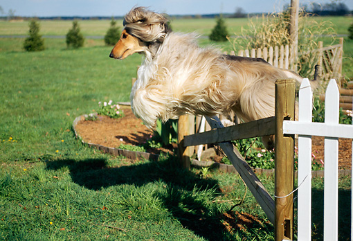 DOG 14 CE0011 01 © Kimball Stock Afghan Hound Leaping Over Fence On Grass