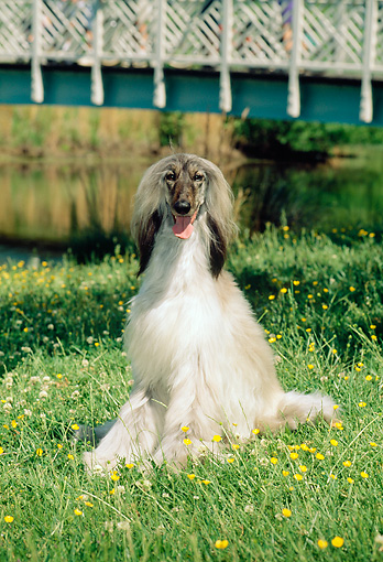 DOG 14 CE0012 01 © Kimball Stock Afghan Hound Sitting On Grass By Water