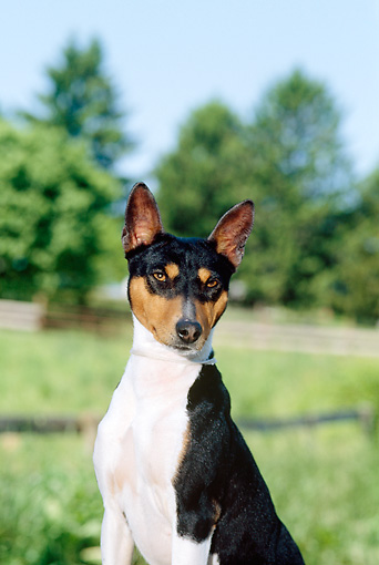 DOG 14 CE0016 01 © Kimball Stock Tricolor Basenji Sitting By Field Trees Blue Sky