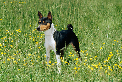 DOG 14 CE0017 01 © Kimball Stock Tricolor Basenji Standing In Field Of Yellow Flowers