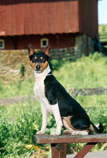 DOG 14 CE0018 01 © Kimball Stock Tricolor Basenji Sitting On Bench By Red Barn