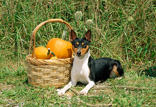DOG 14 CE0019 01 © Kimball Stock Tricolor Basenji Laying On Grass By Basket Of Pumpkins