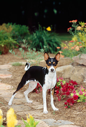 DOG 14 CE0020 01 © Kimball Stock Tricolor Basenji Standing On Stone Path In Garden By Flowers