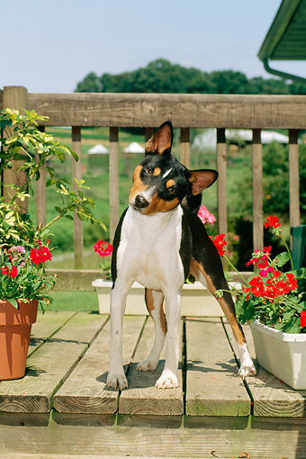 DOG 14 CE0021 01 © Kimball Stock Tricolor Basenji Standing On Deck By Flowers