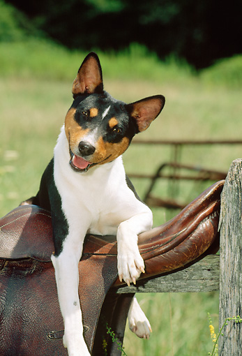 DOG 14 CE0022 01 © Kimball Stock Tricolor Basenji Laying On Saddle On Fence Rail