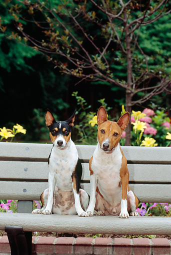 DOG 14 CE0023 01 © Kimball Stock Female And Male Basenjis Sitting On Bench By Flowers And Trees