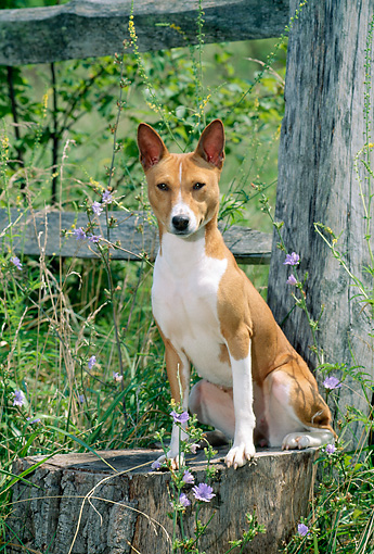 DOG 14 CE0024 01 © Kimball Stock Basenji Sitting On Tree Stump By Fence And Wildflowers