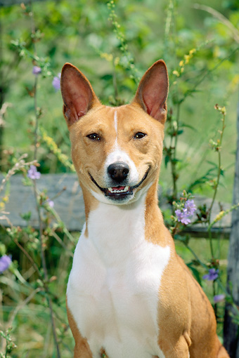DOG 14 CE0025 01 © Kimball Stock Shoulder Shot Of Basenji Sitting By Fence And Wildflowers