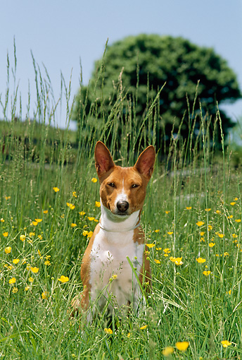 DOG 14 CE0026 01 © Kimball Stock Basenji Sitting In Field Of Yellow Flowers By Tree Blue Sky
