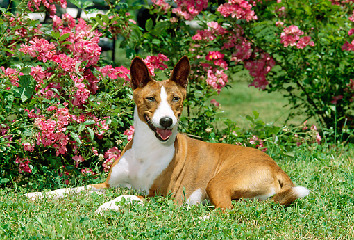 DOG 14 CE0027 01 © Kimball Stock Basenji Laying On Grass By Pink Flowers
