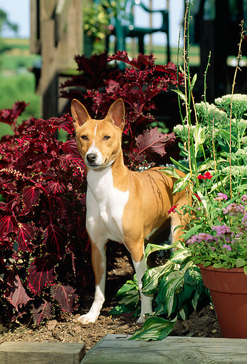 DOG 14 CE0028 01 © Kimball Stock Basenji Standing Among Colorful Plants