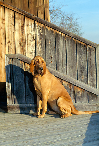 DOG 14 CE0029 01 © Kimball Stock Bloodhound Sitting On Deck By Wall