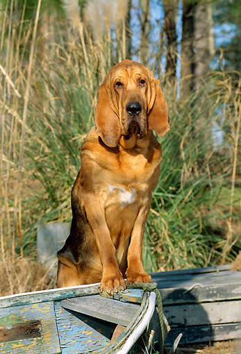 DOG 14 CE0033 01 © Kimball Stock Bloodhound Standing On Bow Of Old Rowboat By Grass And Trees