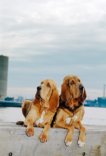 DOG 14 CE0036 01 © Kimball Stock Bloodhounds Laying On Dock By Water And Cloudy Sky
