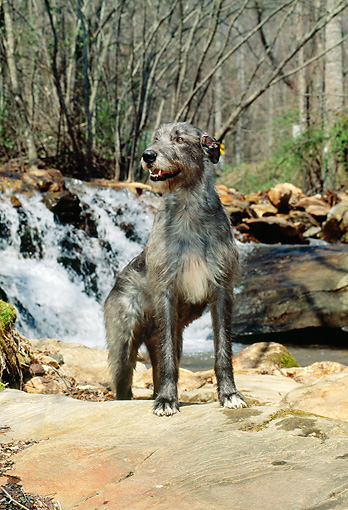 DOG 14 CE0037 01 © Kimball Stock Irish Wolfhound Standing On Rock By Waterfall In Woods
