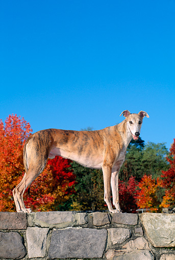 DOG 14 CE0039 01 © Kimball Stock Brindle Greyhound Standing On Stone Wall By Autumn Trees Blue Sky