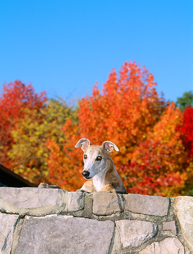 DOG 14 CE0040 01 © Kimball Stock Brindle Greyhound Standing Behind Stone Wall By Autumn Trees Blue Sky