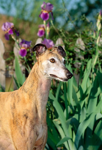 DOG 14 CE0041 01 © Kimball Stock Shoulder Shot Of Brindle Greyhound Standing By Purple Flowers