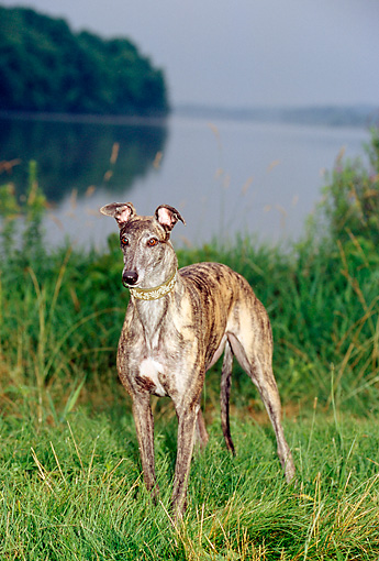 DOG 14 CE0042 01 © Kimball Stock Brindle Greyhound Standing On Grass By Water Trees