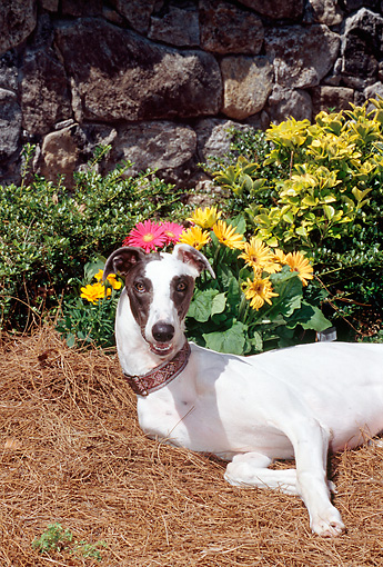 DOG 14 CE0044 01 © Kimball Stock Greyhound Laying On Pine Needles By Yellow Flowers And Stone Wall