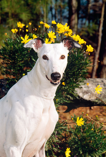 DOG 14 CE0045 01 © Kimball Stock Shoulder Shot Of Greyhound Sitting By Yellow Flowers