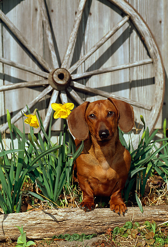 DOG 14 CE0049 01 © Kimball Stock Miniature Smooth Dachshund Standing On Log By Flowers Barn Wagon Wheel