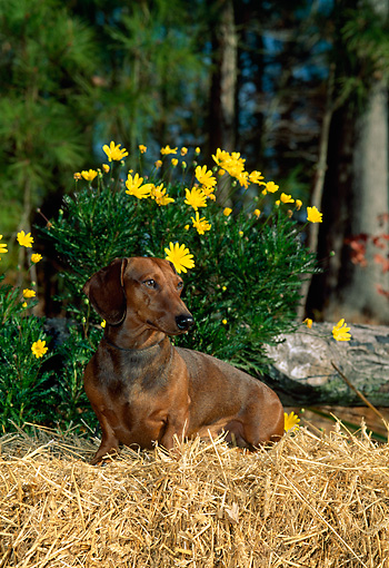 DOG 14 CE0050 01 © Kimball Stock Smooth Dachshund Sitting On Hay Bale By Flowers And Woods