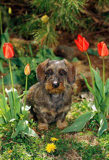 DOG 14 CE0052 01 © Kimball Stock Miniature Wirehaired Dachshund Sittng By Flowers Under Tree