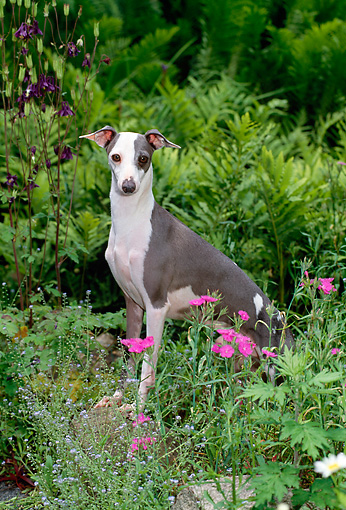 DOG 14 CE0053 01 © Kimball Stock Italian Greyhound Standing In Garden By Pink Flowers