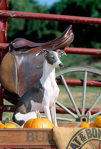 DOG 14 CE0054 01 © Kimball Stock Italian Greyhound Sitting In Wagon By Pumpkins Saddle Fence Wagon Wheel