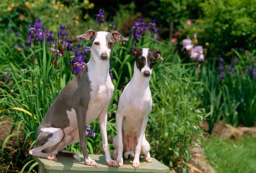 DOG 14 CE0055 01 © Kimball Stock Male And Female Italian Greyhounds Sitting On Bench In Garden By Purple Flowers