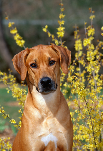 DOG 14 CE0057 01 © Kimball Stock Rhodesian Ridgeback Sitting By Yellow Flowers Close Up