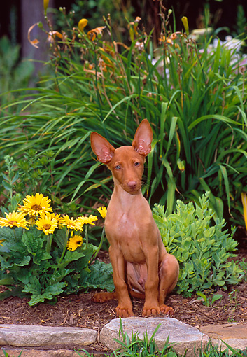 DOG 14 CE0061 01 © Kimball Stock Pharaoh Hound Sitting In Garden By Yellow Flowers