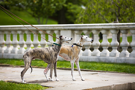 DOG 14 DC0006 01 © Kimball Stock Two Greyhounds On Leashes Standing On Pavement By Fence And Grass
