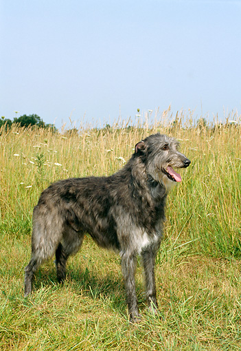 DOG 14 FA0003 01 © Kimball Stock Scottish Deerhound Standing In Field Blue Sky