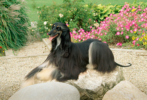 DOG 14 FA0004 01 © Kimball Stock Afghan Hound Laying By Flowers In Garden
