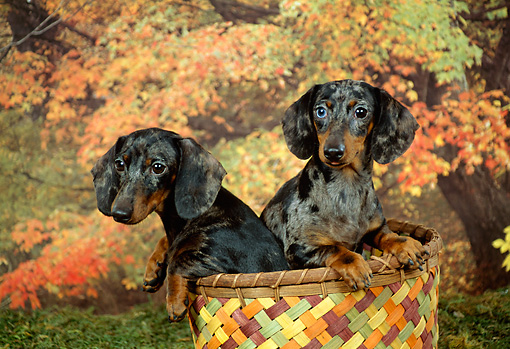 DOG 14 FA0007 01 © Kimball Stock Two Dachshunds Sitting In Basket By Autumn Trees