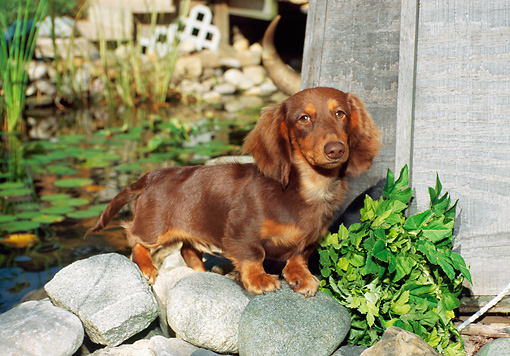 DOG 14 FA0012 01 © Kimball Stock Long-haired Dachshund Standing On Rocks By Pond