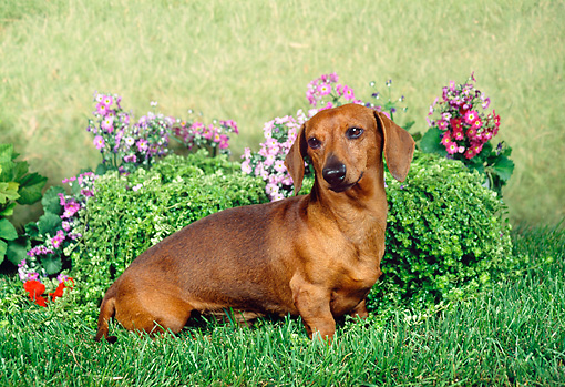 DOG 14 FA0014 01 © Kimball Stock Smooth Dachshund Sitting In Grass By Flowers And Shrub