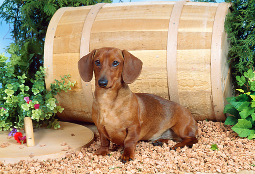 DOG 14 FA0015 01 © Kimball Stock Smooth Dachshund Sitting On Rocks By Barrel And Shrubs