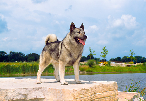 DOG 14 FA0019 01 © Kimball Stock Norwegian Elkhound Standing On Stone Steps By Lake