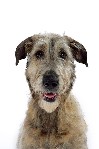 DOG 14 JD0001 01 © Kimball Stock Head On Shoulder Shot Of Irish Wolfhound Sitting On White Seamless Studio